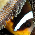 Clown fish in Mauritius
