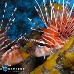 Lion fish on snake reef in Mauritius