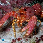 Lobster in Snake reef in Mauritius