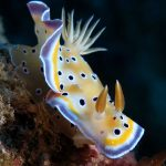 Nudibranch diving in Mauritius