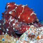 Octopus in Mauritius