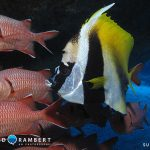 Butterfly fish in Mauritius