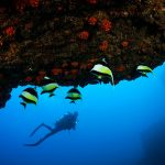 diver with Moorish idols in Mauritius