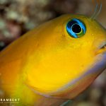 Midas blenny on a dive in Mauritius
