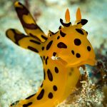 Nudibranch in Mauritius