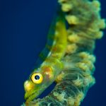 goby on whip coral in Mauritius