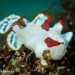 juvenile frogfish in Mauritius