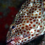 Grouper in Mauritius on a dive in Flic en Flac