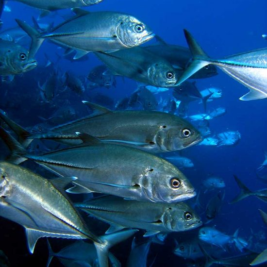 school of kingfish at the cathedral in Mauritius