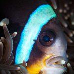 Clown fish of Mauritius