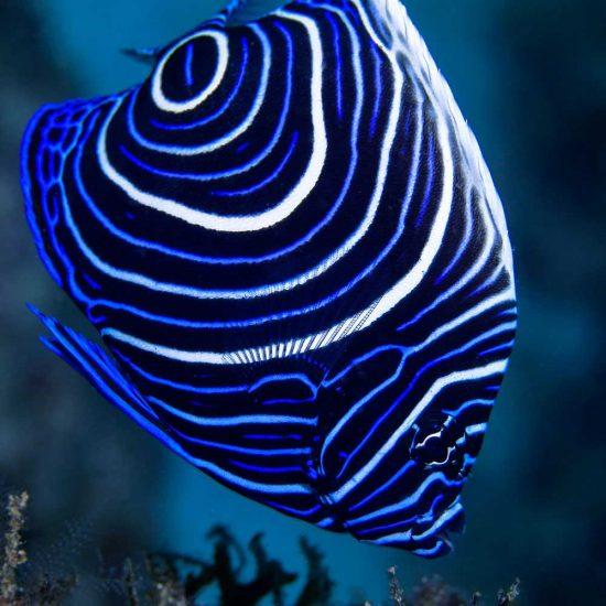 Juvenile emperor angelfish in Mauritius
