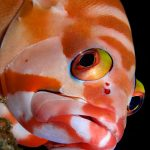 Fish portrait of a grouper in Mauritius