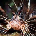 Lionfish on a dive in Mauritius