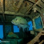 King fish inside the Tiang Xiang wreck in Mauritius