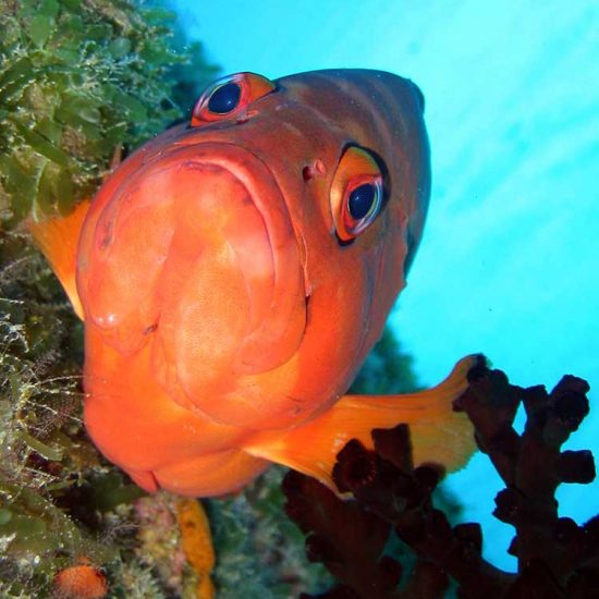 Red grouper portrait in Mauritius