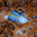 Blenny in Mauritius