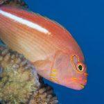 hawkfish in Mauritius